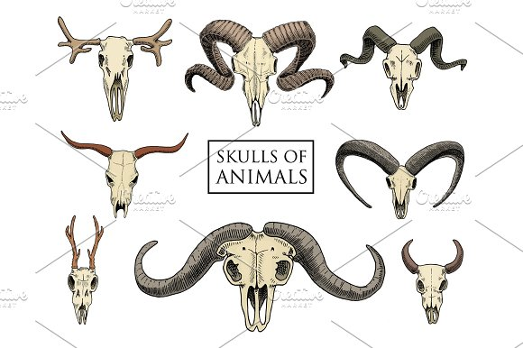 Anatomy Illustration Engraved Hand Drawn In Old Sketch And Vintage Style Skull Set Or Skeleton Bull And Mountain Goat Or Buffalo Animals With Horns Ram Or Sheep Elk And Roe Deer Or Bison