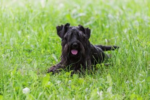Schnauzer dog lying on green grass