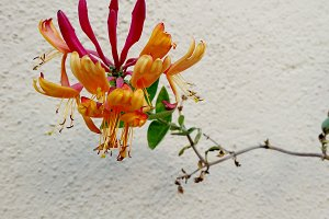 Pink honeysuckle on white wall