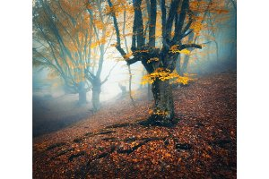 Foggy forest. Mystical autumn forest in fog in the morning