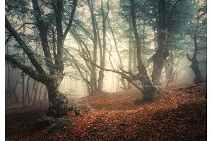 Mystical autumn forest in fog. Magical old trees