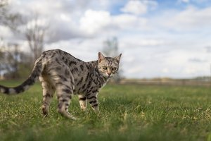 Grey Spotted Bengal Cat
