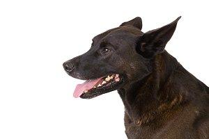 Stressed Shepherd Mix Dog