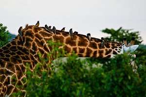 Giraffe and birds during a safari to