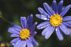 Raindrops on Purple Daisies