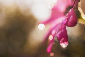 Raindrops on a Pink Daisy
