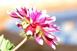 Elegant dahlia close up