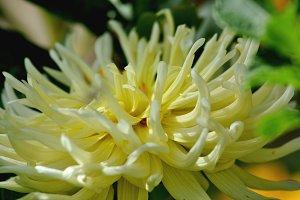 Elegant dahlia petals close up