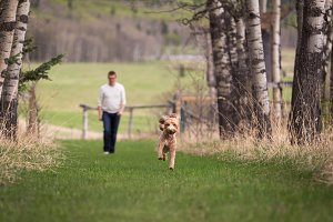 Labradoodle Running with Man