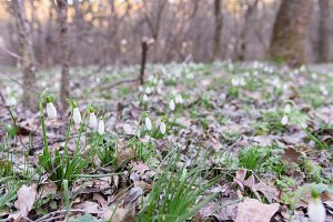 Snowdrop spring flowers in forest