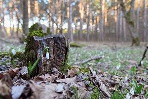 Snowdrop spring flower near trunk