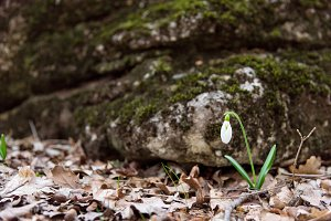 Snowdrop spring flower near moss stone