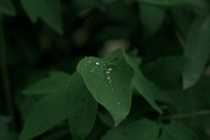 Raindrops on the leaf