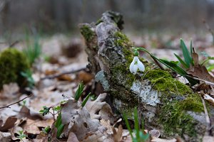 Snowdrop spring flower and tree trunk