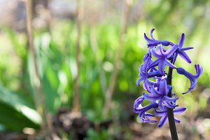 hyacinths blue closeup