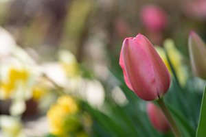 pink tulip closeup bokeh