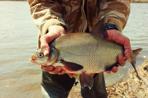 Big bream in fisherman's hand