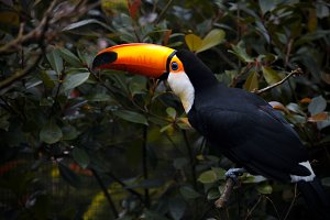 The toucan sits on nature.
