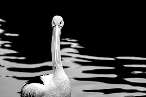 Pelican on the background of water.