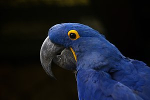 Hyacinth macaw closeup.