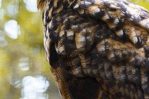 Portrait of a long-eared owl.