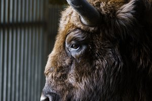 Portrait of a bison in a profile.