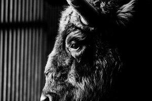 Portrait of a bison close-up.