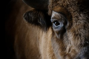 Portrait of a bison in the front.