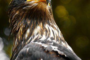 Portrait of a eagle close-up.