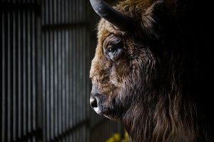 Portrait of a bison in profile.