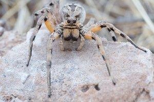 Lycosidae | Araña Lobo