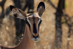 Close up head black-faced impala in Namibia