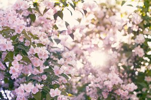Blooming apple tree with sun flare