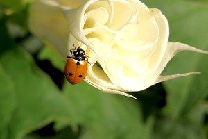 Stramonium on branch and ladybug