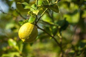 Fresh citron