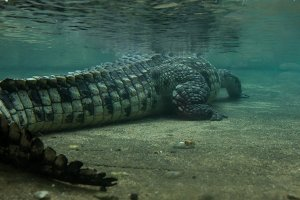 crocodile underwater view