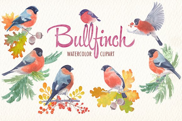 Watercolor Bullfinch Bird Clipart