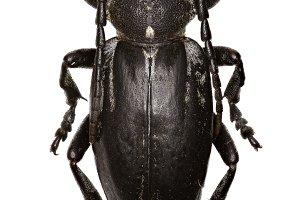 Longhorned Beetle Dorcadion