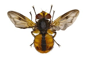 Tachinid Fly Ectophasia