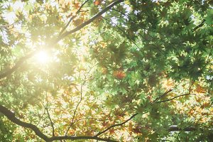 The midday summer sun shines through the green leaves of a large maple tree.
