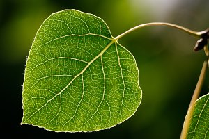 Aspen Leaf - Green - close up Macro