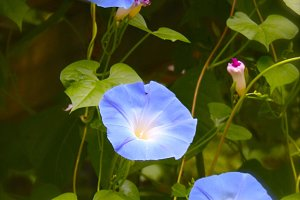 Blue Morning Glory Flower Vine
