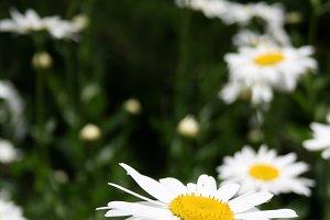 Shasta Daisies in Bloom