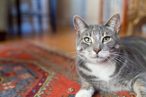 Pretty Cat on Red Rug