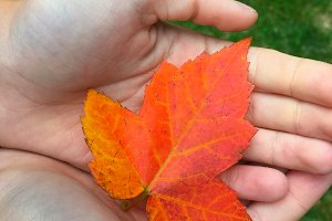 Maple Leaf in Child's Hand