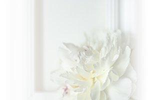 Beautyful white wedding peony