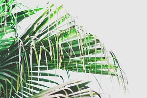 Large Tropical Palm Leaves