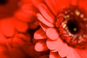 Red Gerbera Background