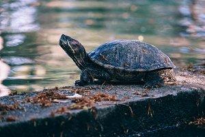 Proud Turtle