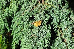 Orange butterfly Aglais Urticae on the cypress tree macro photo
